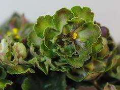 АВ-Купорос (758-88) Темно-зеленые полумахровые анютки с салатово-фиолетовым глазком.