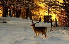 Big buck in the snow.