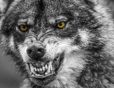 Best Ideas For Tattoo Wolf Angry Beautiful Tribal Wolf Tattoo, Wolf Tattoos, Tribal Tattoos, Tattoos Skull, Wolf Photos, Wolf Pictures, Wolf Spirit, Spirit Animal, Snarling Wolf