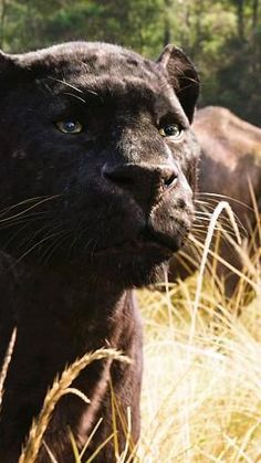 Cute Baby Cats, Cute Little Animals, Cute Funny Animals, Black Panther Cat, Black Panther Marvel, Baby Panther, Majestic Animals, Animals Beautiful, Mogli Jungle Book