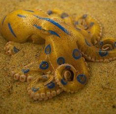 Blue Ringed Octopus Fosterginger.Pinterest.ComMore Pins Like This One At FOSTERGINGER @ PINTEREST No Pin Limitsでこのようなピンがいっぱいになるピンの限界