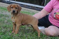 Meet RUSTY *SMART LIL FELLOW*, a Petfinder adoptable Dachshund Dog | Newington, CT | Rusty is a 12 to 13 week old, approx.15 pound, Dachshund/Beagle mix pup!  Rusty was rescued off the...