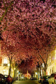 Japon Des Cerisiers en Fleurs pour un Joli Printemps