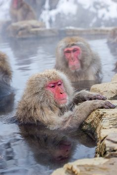 How I feel after shoveling for hours... cold, wet, smelly, and just a tad bit grumpy.    Snow monkey enjoying the hot spring, Jigokudani Monkey Park, Nagano, Japan