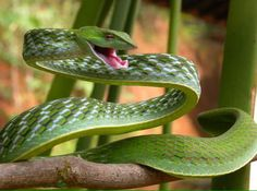 Green Vine Snake - Ahaetulla nasuta