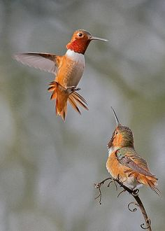 Hummingbird Dance by Thomas Kaestner