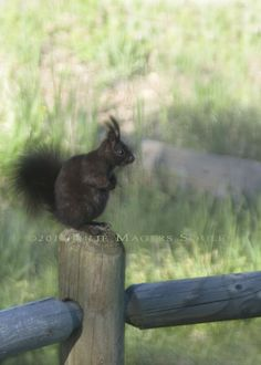 Colorado Black Squirrel. Love these little guys..