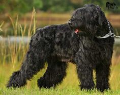 Google Image Result for http://www.fordogtrainers.com/ProductImages/dog-breeds-muzzles/Black-Russian-Terrier-muzzle-Black-Russian-Terrier.jpg