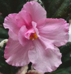 African Violet Flowers | Therese Standard African Violet Flower | Beautiful African Violets...