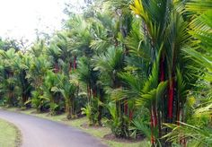 Palmeira Laca ou Renda