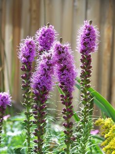 """Perennials Liatris spicata aka """"Blazing Star"""" - Looking to beautify your garden this season with beautiful flowers? Try these full-sun perennials! They do well in the heat and some are low-maintenance! Full Sun Perennials, Hardy Perennials, Flowers Perennials, Plants That Like Sun, Full Sun Plants, Starting Plants From Seeds, Full Sun Flowers, Low Maintenance Garden, Lawn And Garden"""