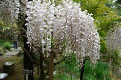 藤の花と歴史