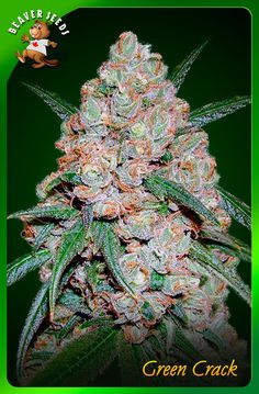 Order Green Crack marijuana seeds now and we will process your order the same day we receive your order.