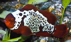 The 'best' Lightning Maroon Clownfish start out life nearly all white over their body, and as the fish grows and matures, the solid white begins to be perforated with individual dark maroon scales. As this process develops, the black spots grow in size and turn into the kind of reticulated pattern.