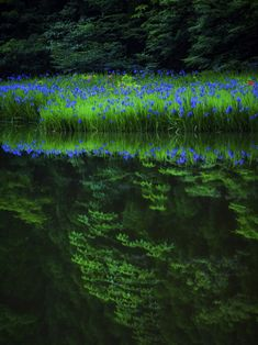 lifeisverybeautiful: Iris laevigata Shiga Japan via GANREF . What A Wonderful World, Beautiful World, Beautiful Places, Landscape Photography, Nature Photography, Shiga, Water Reflections, Nature Scenes, Japan Travel