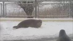 Zeehonden spelen in de sneeuw