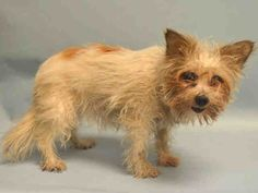 PULLED BY  POSH PETS - 01/22/16 - ZARIA - #A1063458 - Manhattan - FEMALE WHITE/BROWN CHIHUAHUA LH/YORKSHIRE TERR, 8 Yrs - STRAY - NO HOLD Intake 01/22/16 Due Out 01/25/16 - TENSE AND NERVOUS DURING EXAM