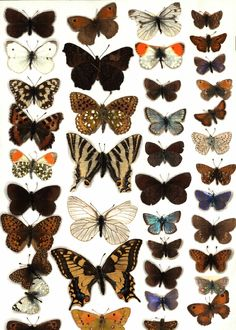 Google Image Result for http://www.collectionsimaging.com/assets/images/Scanned_Butterfly_Tray.jpg