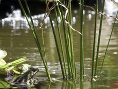 Frosch sitzt am Ufer Clematis, Fields, Animals, Spas, Collages, Insects, Camping, Gardening, Gardens