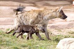 Baby Hyena Alert! Kai Is No Laughing Matter | POPSUGAR Pets