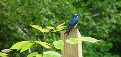 Mass Audubon's Habitat Education Center & Wildlife Sanctuary Tree Swallow