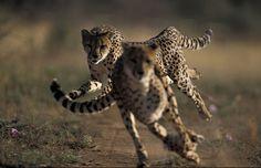 Cheetahs (Acinonyx Jubatus) in motion.