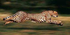 Or run fast like a cheetah!