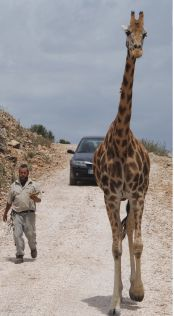 Giraffe, Safari, Animals, Nature, Giraffes, Animales, Animaux, Animal Memes, Animal