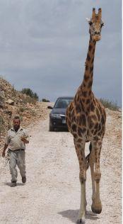 Lyst til å oppleve elefanter og løver i naturlige omgivelser? Da anbefaler vi en tur til Safari Aitana. Det er enkelt å komme dit med bil. Kjør mot Villajoyosa, forbi solgården for deretter å følge skilting mot Orcheta og Sella. Det er en skikkelig kronglete fjellvei, så turen tar gjerne en god time, selvom det ikke er stort mer enn 4 mil å kjøre.  http://www.spania24.no/safari-aitana-en-fantastisk-safaripark-i-aitana-fjellene/