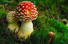 Molte sono le leggende sui funghi che continuano ad avere seguito fra gli estimatori di questo delizioso frutto. Ma quali sono i miti da sfatare sui funghi?