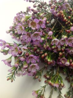 Painted Lady Waxflower #cagrown #americangrown #originmatters #waxflower