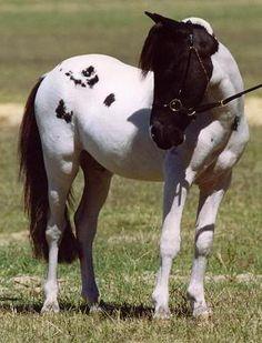 #HORSES Pintaloosas