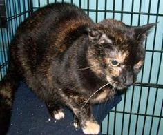 Samantha Raven is an adoptable Tortoiseshell Cat in Leonardtown, MD. Hello my name is Samantha Raven and I've been looking for a home for many years now! I'm front De-clawed and love to talk. I'm a sp...