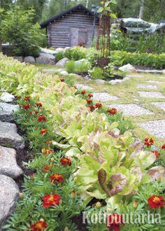 Samettikukka on kasvimaan kaunistaja. Lajikkeita löytyy useita ja ne ovat syötäviä. Salaattiin voi poimia salaatin lehtiä ja samettikukkaa syötäväksi. www.kotipuutarha.fi