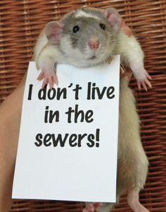 @spellbunny reasons to get a pet rat. I miss my rats!