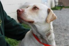 This is Luther. He is about a year old and is a Dudley lab and he needs a new home!!