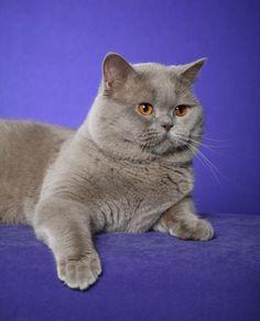 Sooo pretty and cute! British Shorthair