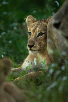 Singita has two lodges in the Kruger National Park, located near the Mozambique border on 33 000 hectares of pristine land. Learn more about Singita Kruger National park options here. Lion Cub, Kruger National Park, Nice View, Lodges, Conservation, Cubs, Philosophy, Wildlife, Cute Animals