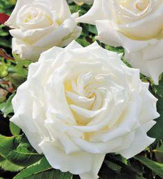 "Pope John Paul II hybrid tea rose. ""Among the finest white roses ever, the Pope John Paul II rose produces pure, luminous white, lavishly petaled blossoms with a delightful, fresh citrus fragrance."" #plants"