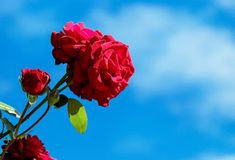 Flowers Dp For Whatsapp Red Rose Images Hd, Beautiful Rose Flowers Images, Flowers Dp, Red Rose Pictures, Rose Flower Photos, Image Beautiful, Flowers Nature, Flower Pictures, Amazing Flowers