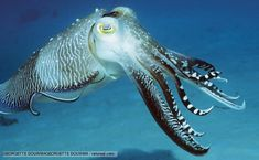 BBC Nature - Sepia cuttlefish videos, news and facts