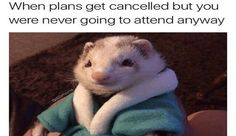 15 Hilarious and Adorable Ferret Memes