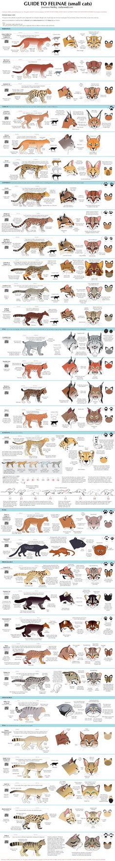 To view both parts of this chart together in full size, you need to go to my website. All the Little Cats (Felinae) species (no subspecies!) are shown here, save for a couple listed at the top of t...