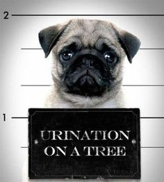 prison puggy i wuv you!