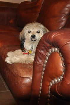 My oldest Tibetan Terrier, Dallas, loves to nap on the cool leather sofa when it's hot outside.  We think she is about 17 now...we've had her for at least 14 years, and she was not a puppy when we got her from the Dallas Humane Society.  She has beaten cancer three times....but the tumors are growing rapidly now, and we may lose her soon.