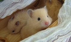 Ảnh trong Chuột Hamster - Google Photos