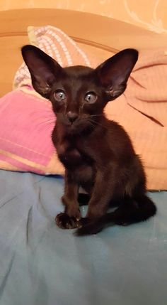 All black baby Oriental Shorthair. Baby Kittens, Cats And Kittens, Dobby Cat, Oriental Cat Breeds, Oriental Shorthair Cats, Funny Animals, Cute Animals, Brown Cat, Animals
