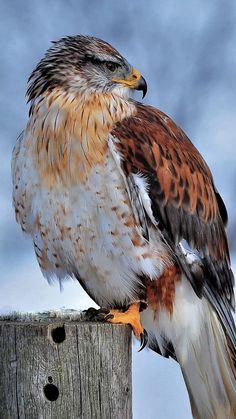 Ferruginous Hawk Winter Snow 4K Ultra HD Mobile Wallpaper.