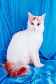 Difference Between Turkish Van & Turkish Angora Cats - Pets