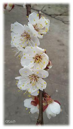 Apricot Blossom, Beautiful Flowers, Spring, Plants, Painting, Art, Art Background, Painting Art, Kunst